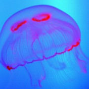 "A picture taken on June 17, 2010 shows a jellyfish in a fish tank at the ""Grand Aquarium"" (Big Aquarium) of Saint-Malo, western France. AFP PHOTO/FRED TANNEAU (Photo credit should read FRED TANNEAU/AFP/Getty Images)"